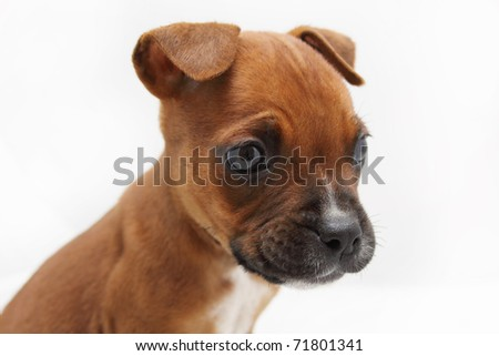 Close-up of brown Boxer puppy dog - stock photo