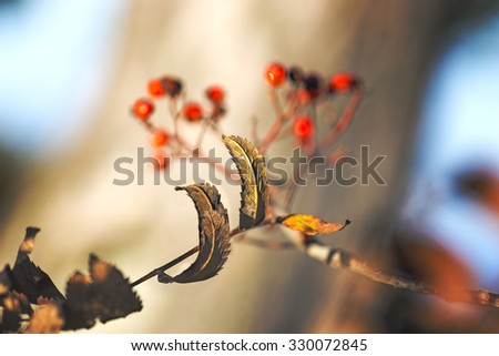 Close up of brown leaves on rowan tree in autumn, with red berries in background - stock photo