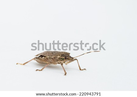 Close-up of brown Marmorated Stink Bug on white paper, found in North Carolina. Halyomorpha halys. This serious agriculture pest was accidentally introduced in the late 1990s. - stock photo