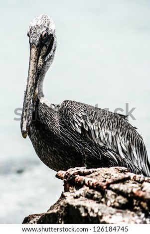 Close up of brown pelican sitting by the sea at Mexican Holbox island - stock photo