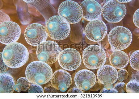 Close up of bubble anemone on a tropical coral reef. - stock photo