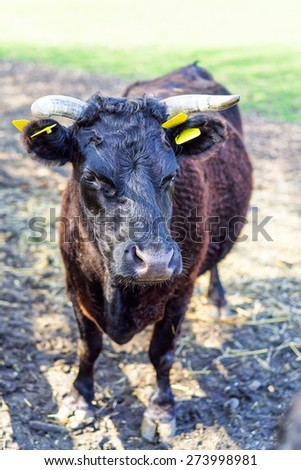 close up of Bull - stock photo