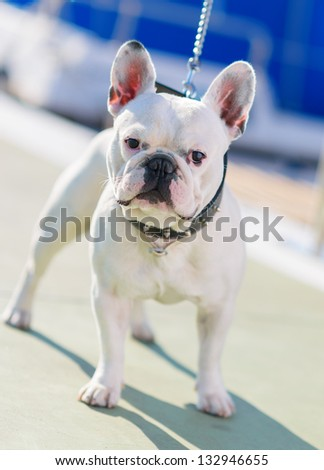 Close-up Of Bull Dog, Outdoors - stock photo