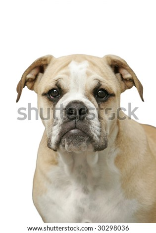 Close-Up of Bull Dog Puppy on White Background