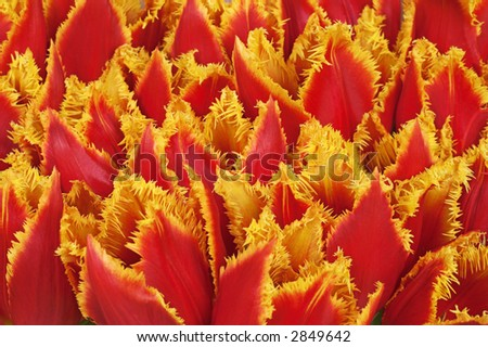 Close-up of bunch of red tulips with fringed petals edges of yellow - stock photo