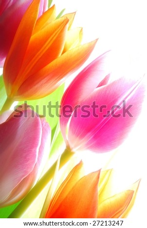 Close-up of bunch of spring tulips on white background - stock photo