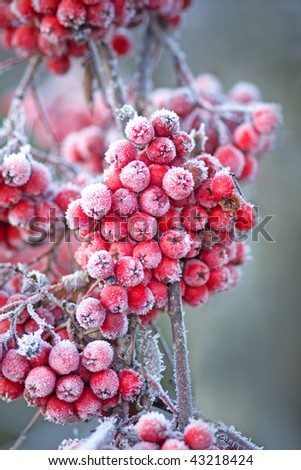 Close up of bunches of rowan berries with ice crystals - stock photo