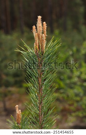 Close-up of burgeon on fir tree top over forest background at spring