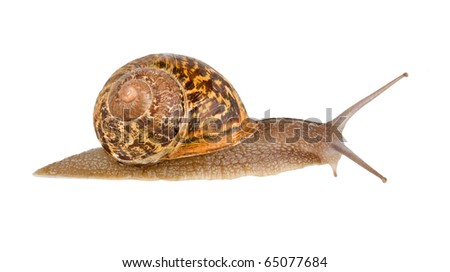 Close up of Burgundy (Roman) snail isolated on white background - stock photo