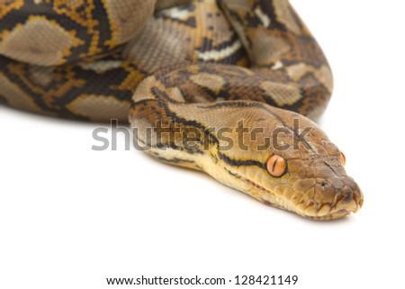 Close up of Burmese Python, isolated - stock photo