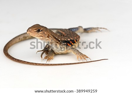 Close up of Butterfly Agama lizard or common butterfly lizard (Leiolepis belliana) on white. - stock photo