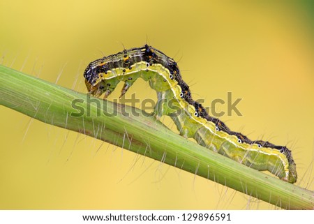 close up of butterfly larvae on a green leaf, taken photos in the natural wild state, Luannan County, Hebei Province in China. - stock photo