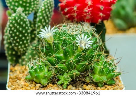 Close up of Cactus flower  - stock photo