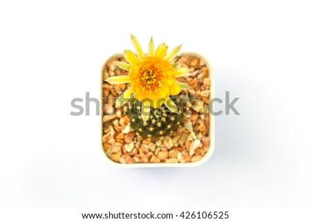 Close up of Cactus flower on white background - stock photo