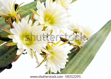 Close up of cactus flowers - Trichocereus scopulicolus - stock photo