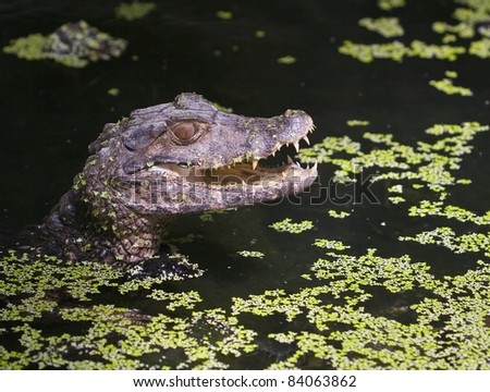 Close up of Caiman head in pond with green vegetation - stock photo