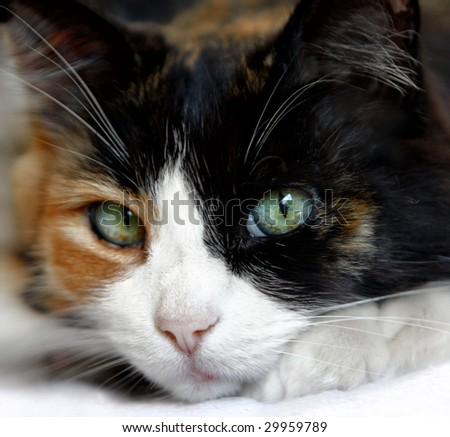 Close Up Of Calico Cat With Beautiful Green Blue Eyes - stock photo