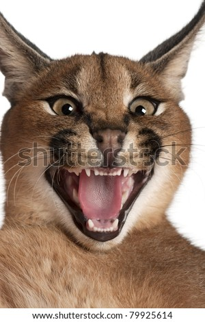 Close-up of Caracal hissing, Caracal caracal, 6 months old, in front of white background - stock photo