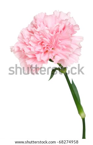 Close-up of carnation isolated on white background