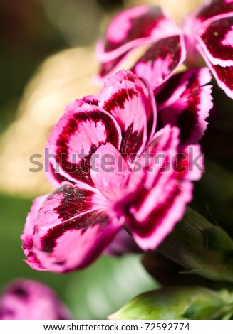 Close-up of carnation or pink in the flowerbed - stock photo