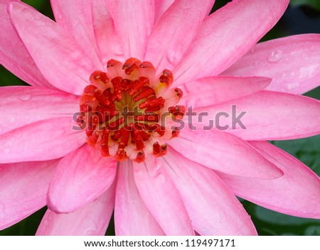 Close up of carpel pink lotus flower - stock photo