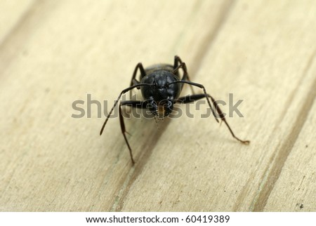 Close-up of carpenter ant head showing its mouth and jaws - stock photo