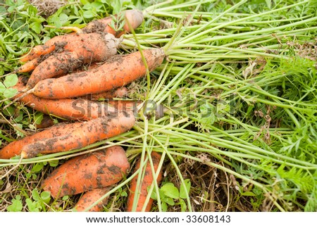 Close up of carrots freshly pulled from the ground - stock photo