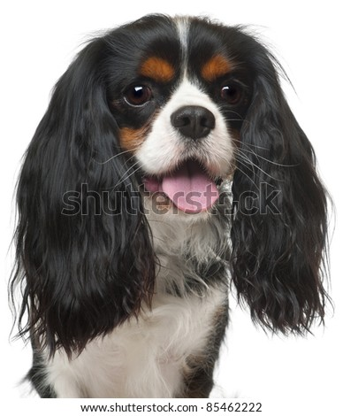 Close-up of Cavalier King Charles Spaniel, 3 years old, in front of white background - stock photo