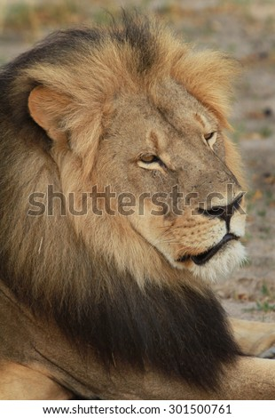 Close-up of Cecil the Hwange Lions face - stock photo