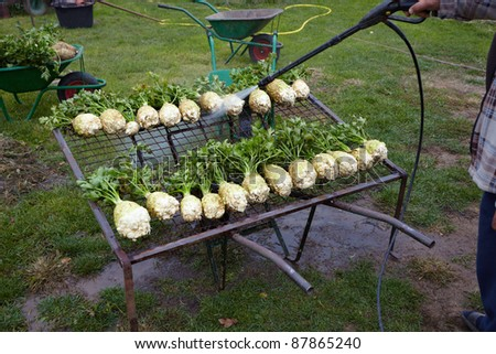close up of celery washing in countryside garden - stock photo
