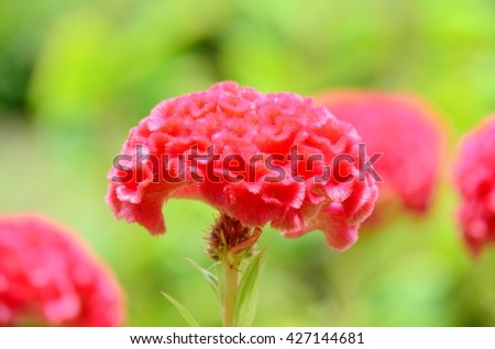 Close up of Celosia argentea, cockscomb, red flowers, flower meadow, fluffy flowers,flower in soft tone, red velvet-liked flower - stock photo