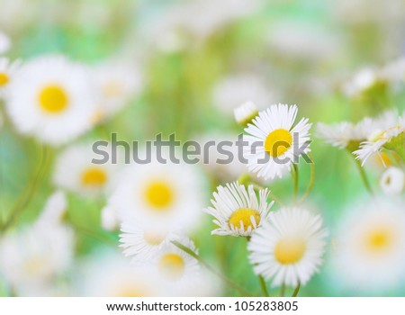 Close-up of chamomile flower
