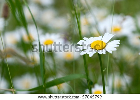 Close up of chamomile flower - stock photo