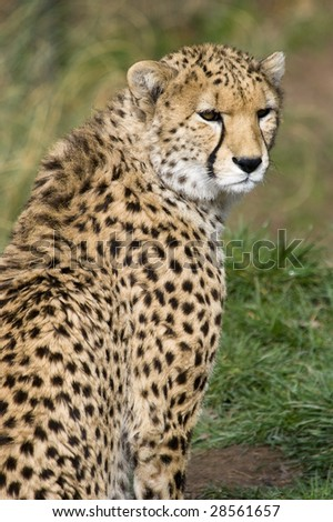 Close up of Cheetah (Acinonyx jubatus soemmeringii)