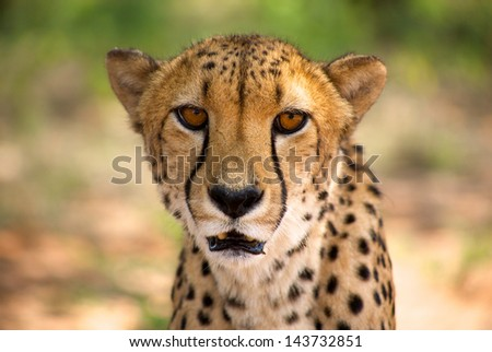 Close-up of cheetah in Harnas Foundation, Namibia.