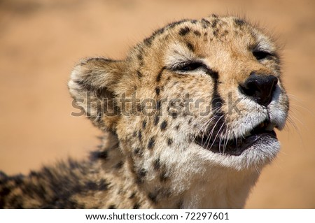 Close-up of Cheetha looking for food with desert background - stock photo