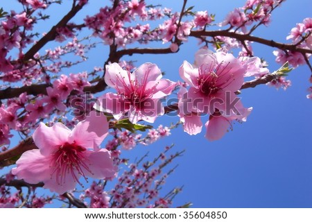 Close-up of Cherry Blossoms - stock photo