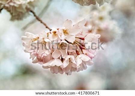 Close up of cherry blossoms in bloom during springtime in Washington DC with filtered colorized grain effect