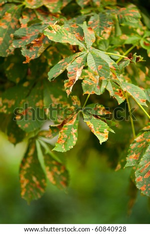 Close  up of chestnut autumn leaves with shallow depth of field - stock photo