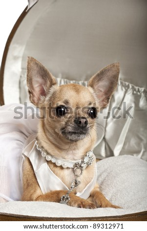 Close-up of Chihuahua in wedding dress, 3 years old, sitting in round luggage in front of white background - stock photo