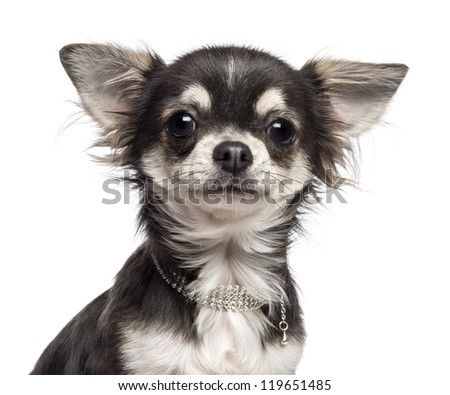 Close-up of Chihuahua looking at camera against white background - stock photo