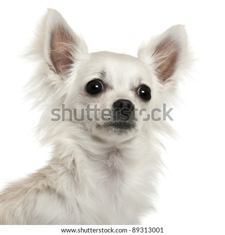 Close-up of Chihuahua, 7 months old, in front of white background - stock photo