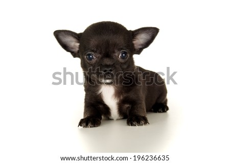 Close-up of Chihuahua puppy - stock photo