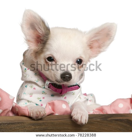 Close-up of Chihuahua puppy, 4 months old, dressed up and in dog bed in front of white background - stock photo