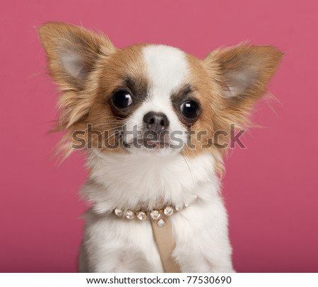 Close-up of Chihuahua wearing diamond collar, 7 months old, in front of pink background - stock photo