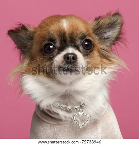 Close-up of Chihuahua, 2 years old, with diamond collar in front of pink background - stock photo