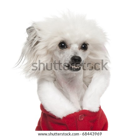 Close-up of Chinese Crested Dog wearing Santa outfit, 1 year old, in front of white background - stock photo