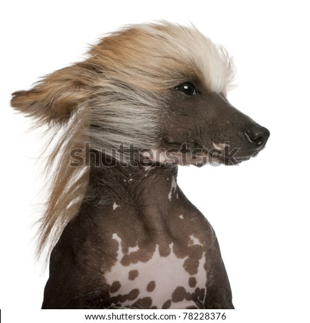 Close-up of Chinese Crested Dog with hair in the wind, 7 years old, in front of white background - stock photo