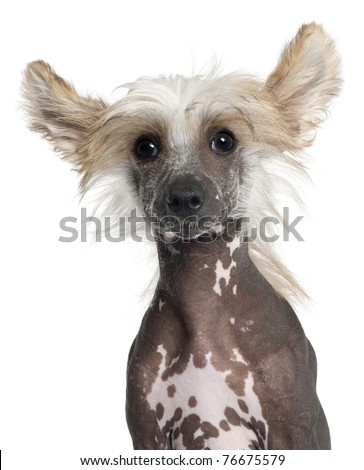 Close-up of Chinese Crested puppy, 4 months old, in front of white background - stock photo