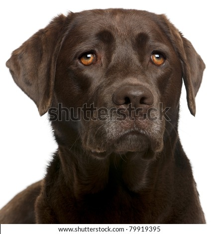 Close-up of Chocolate Labrador, 4 years old, in front of white background - stock photo